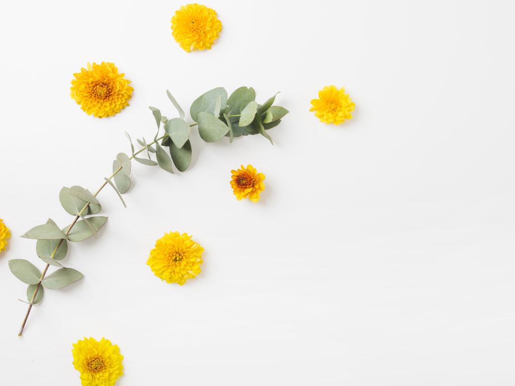 ดอกดาวเรือง