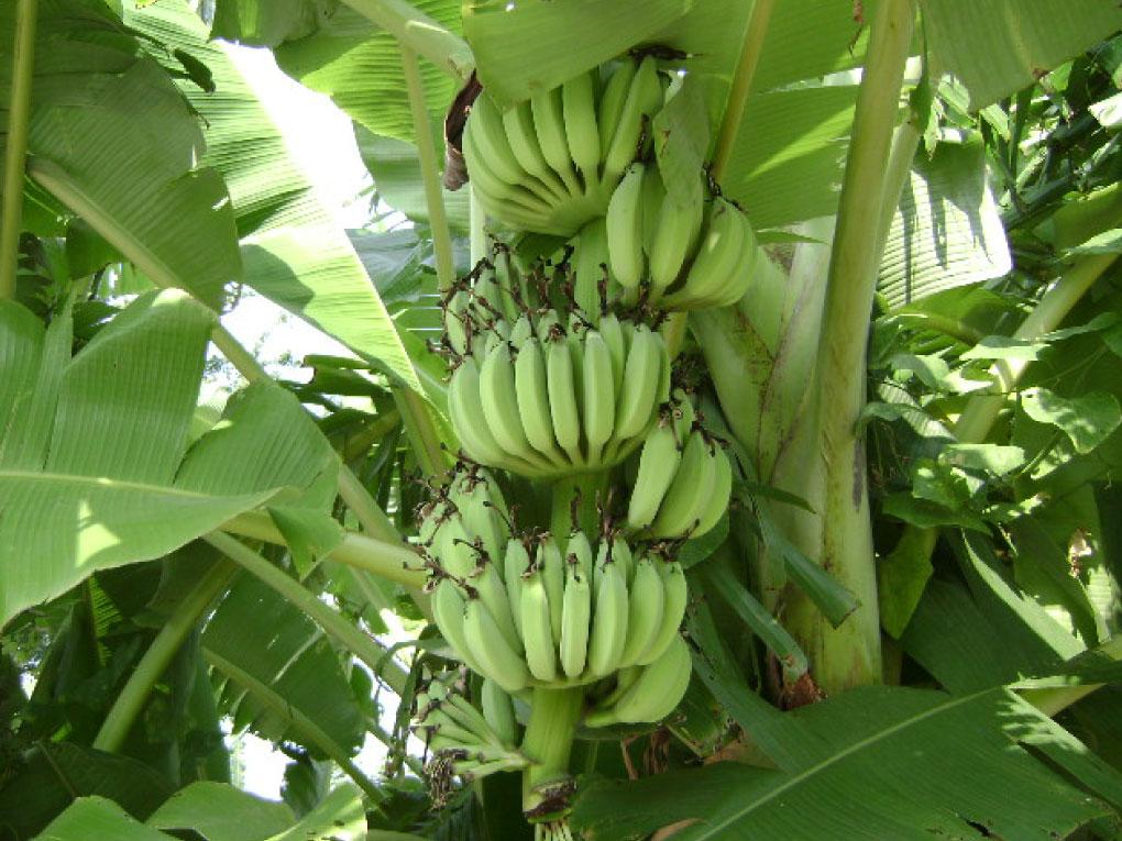 กล้วย