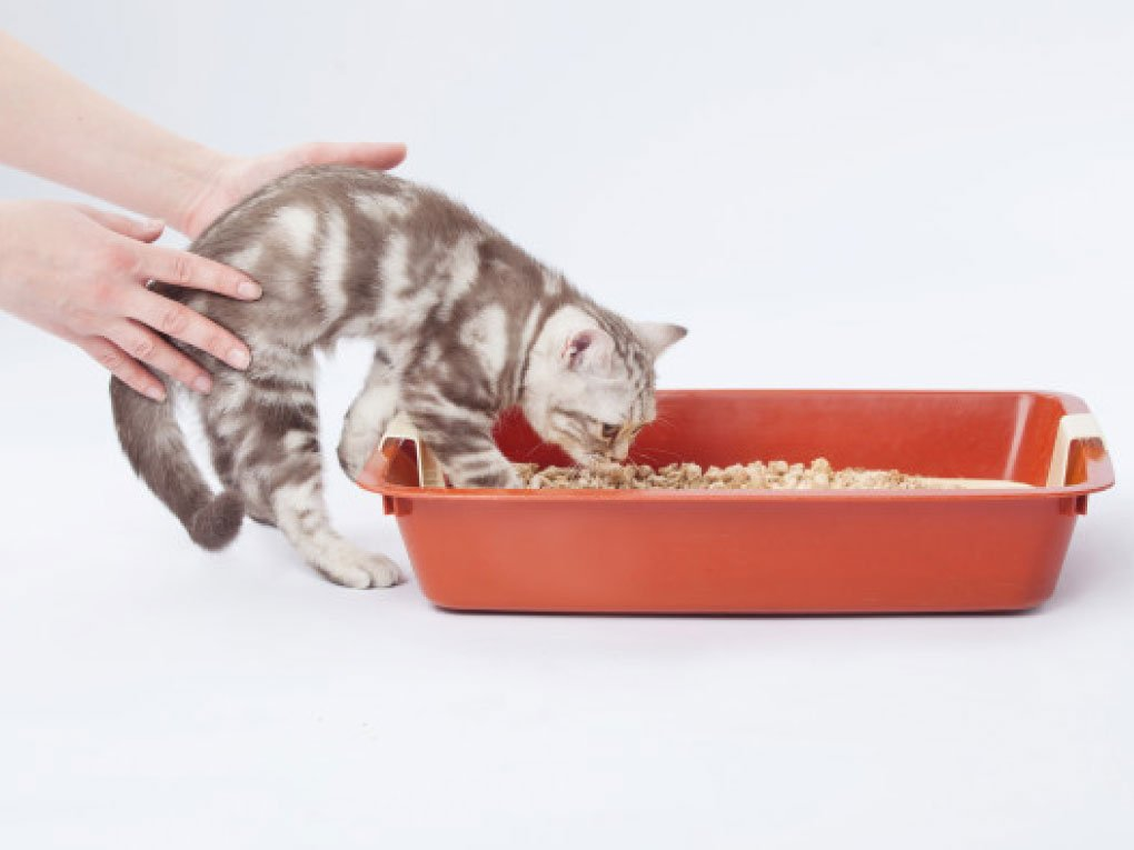 วิธีการฝึกน้องแมว