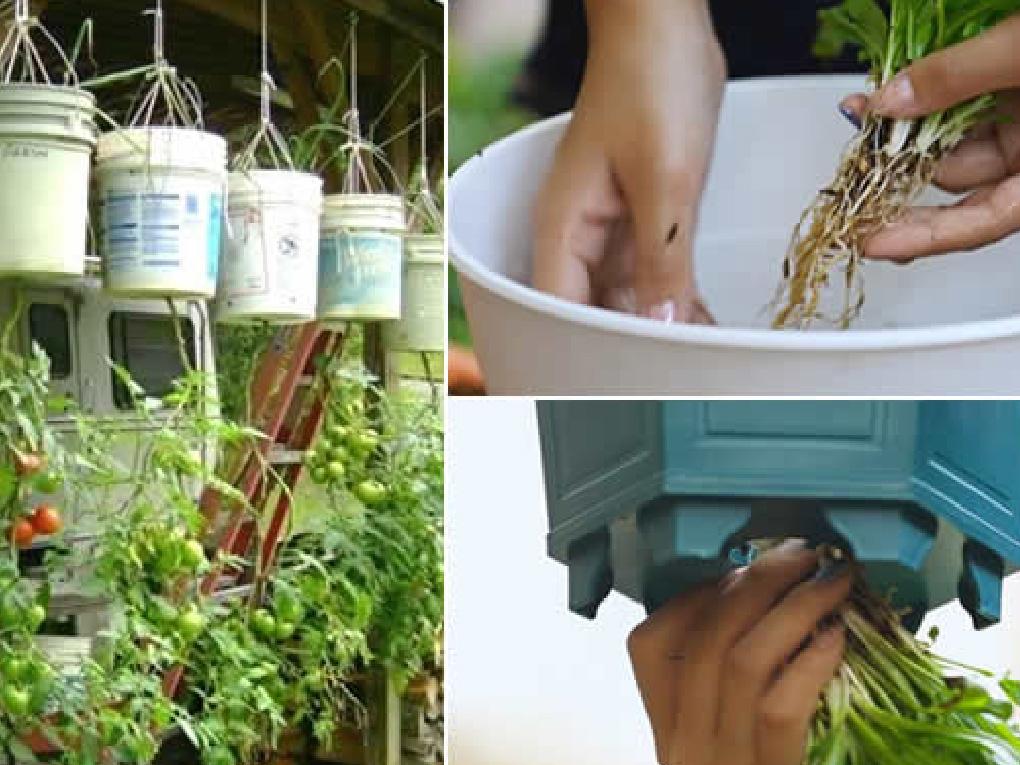 วิธีปลูกพืชกลับหัว