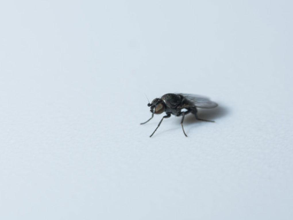 แมลงหวี่