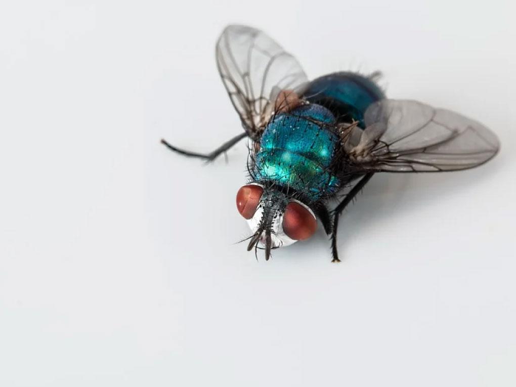 แมลงวัน
