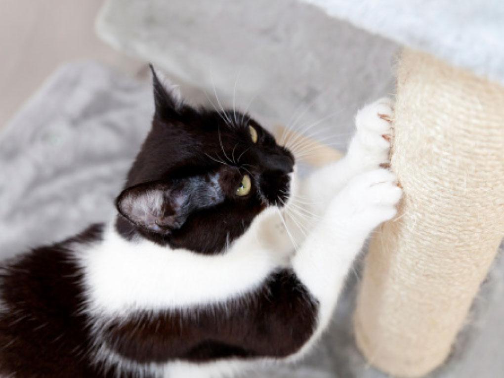 แมวชอบลับเล็บ