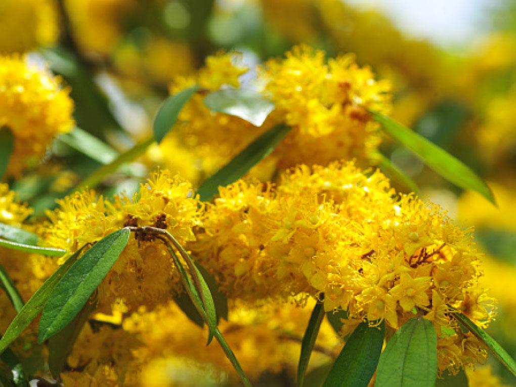 ต้นรวงผึ้ง