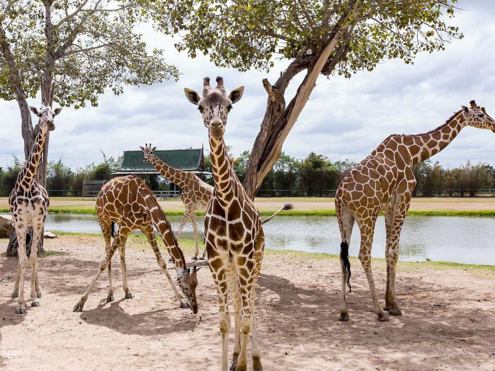 สวนสัตว์เปิดซาฟารีปาร์คแอนด์แคมป์