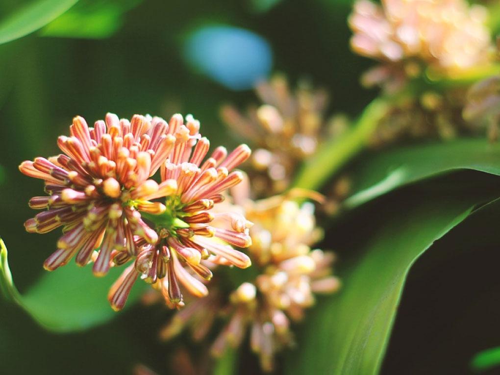 ดอกของต้นวาสนา